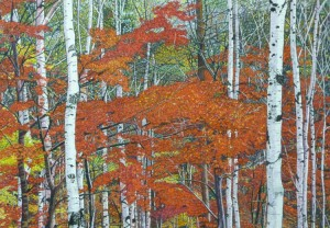 Silver Birch and Maple Trees